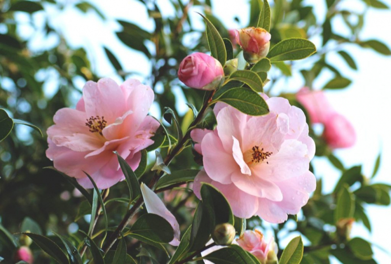 In order to develop their full beauty, camellias need a lot of nutrients