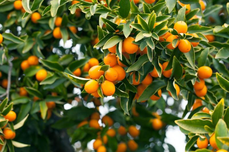 Kumquat Care