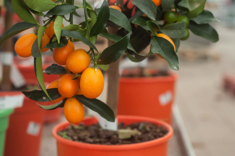 Kumquats can be wonderfully kept in pots as a houseplant or on the terrace