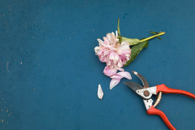 Learn how to properly cut peonies here