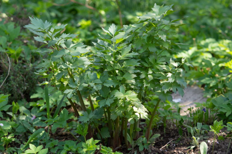 Lovage also gets along well in partially shaded locations