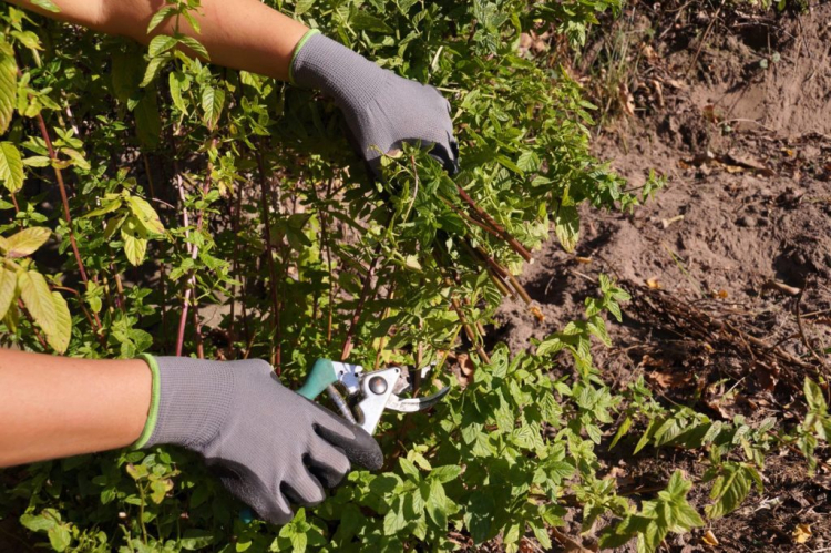 Mint is ideally cut twice a year, in June and November
