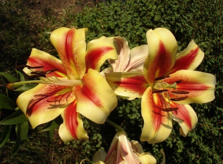 Montego Bay is one of the oriental lily hybrids