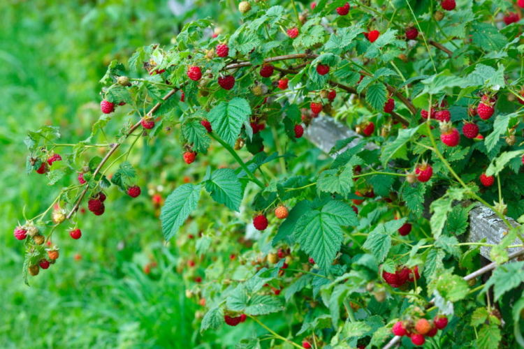 Most raspberry varieties are characterized by medium to strong growth