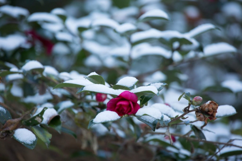 Only a few camellia varieties are conditionally hardy