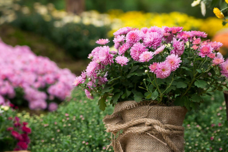 Pot chrysanthemums that are more sensitive to frost are also suitable for the balcony