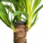 Propagating The Yucca Palm