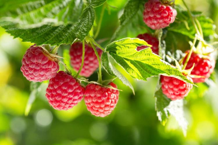 Raspberries Propagate