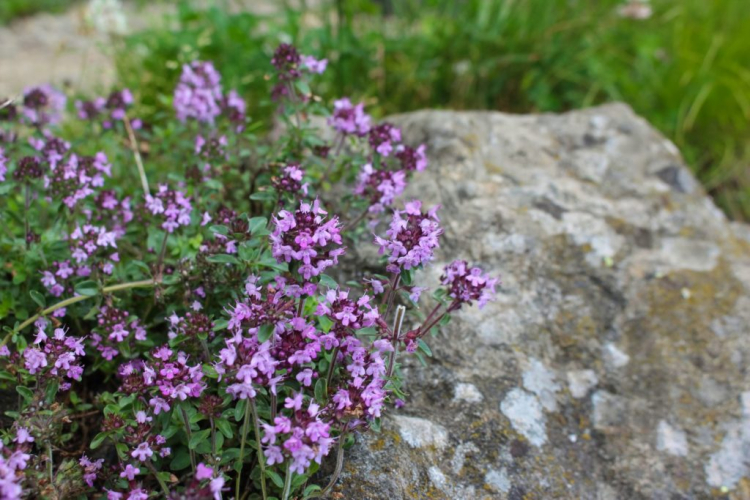 Sand thyme is well suited for planting dry stone walls