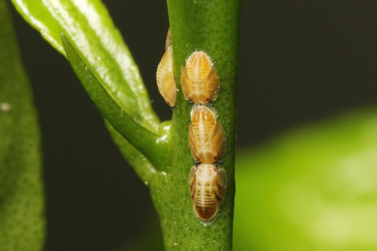Scale insects can also be observed on the shoot axis
