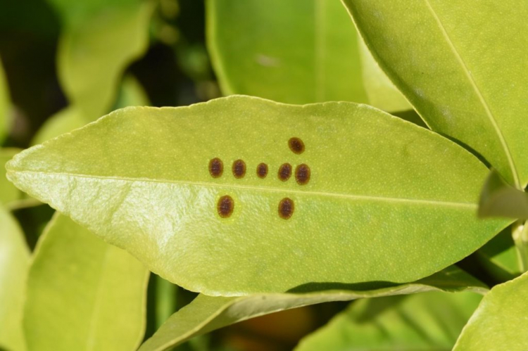 Scale insects like to hide on the underside of the leaf