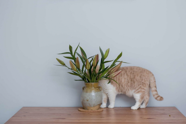 Small amounts can be fatal in cats