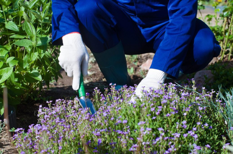 Small phlox species such as the cushion phlox are ideal as ground cover between taller perennials