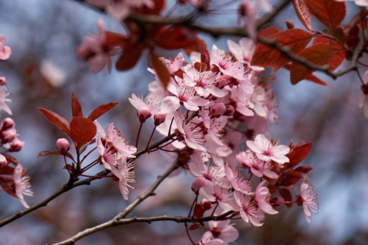 Some cherry plum varieties have red foliage