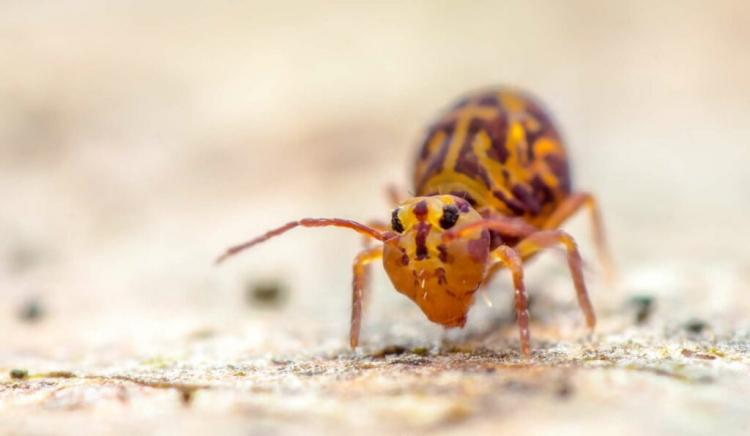 Springtails are small beneficial insects