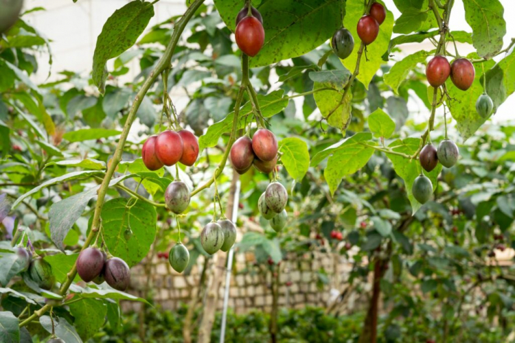 Tamarillo is colored differently during the ripening process