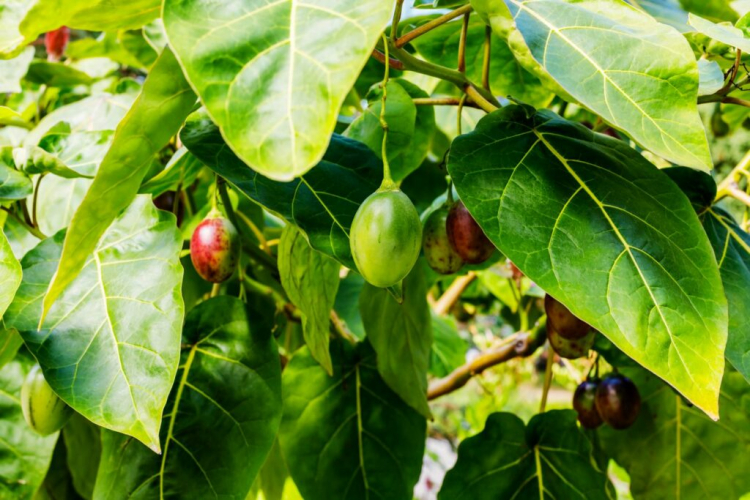 Tamarillo is very thirsty with their large leaves