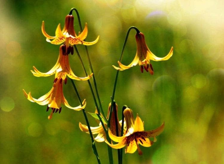 The Canada lily is particularly hardy
