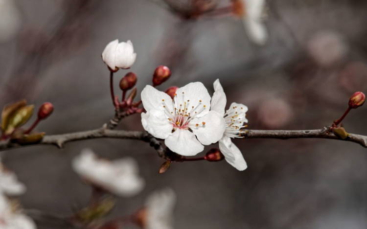 The cherry plum blossoms appear before the Mirabelle and sloe blossoms