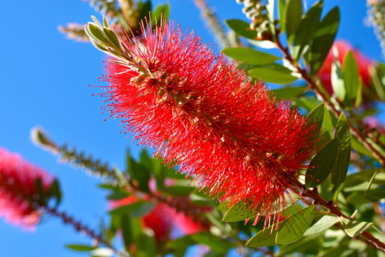 The conspicuous inflorescences of the evergreen Bottlebrush plants are reminiscent