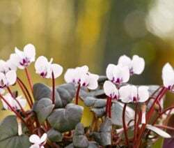 The cyclamen coum is hardy