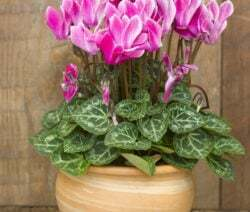 The cyclamen is probably the best known