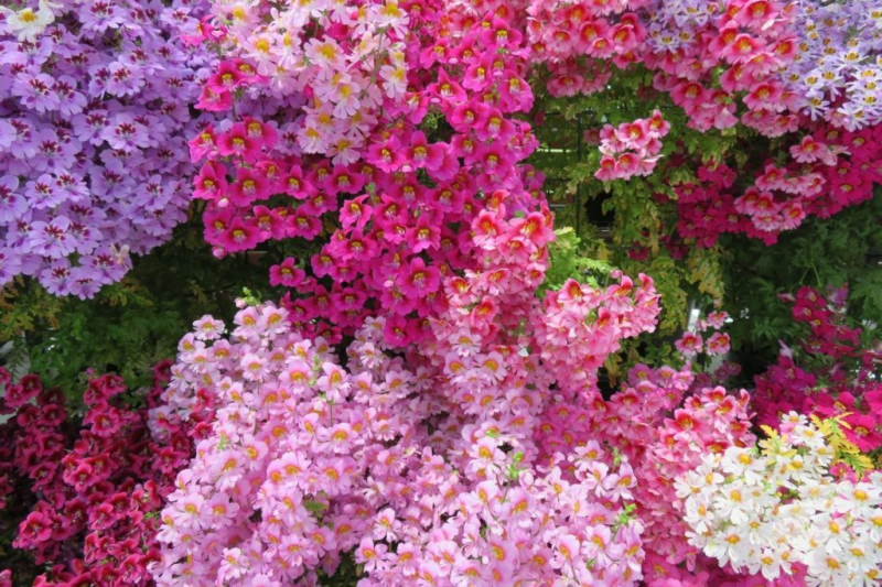 The farmer orchids bloom in many bright colors and color combinations, depending on the variety