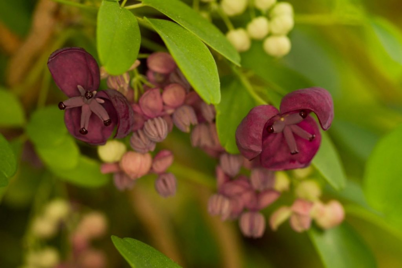 The female and male flowers of the chocolate wine