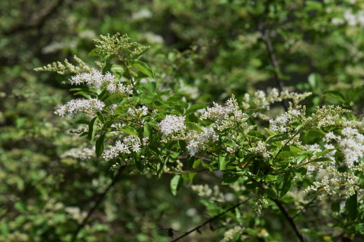 The fine flowers of the privet give off a pleasant scent of summer