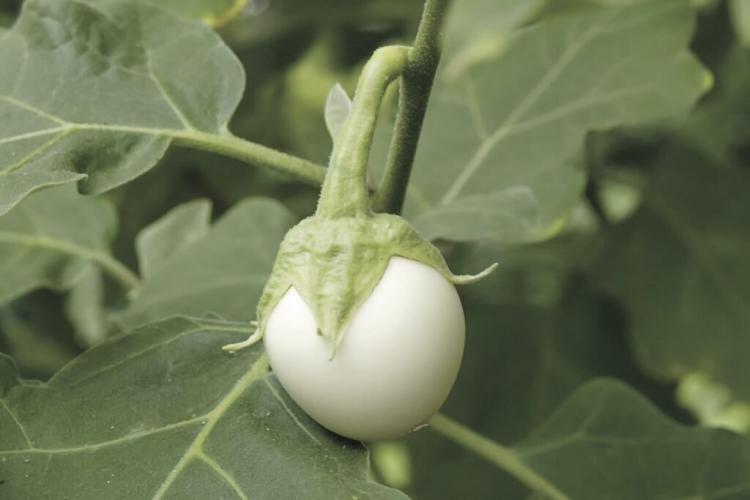 The first white fruits appear on the egg tree plants from mid-August