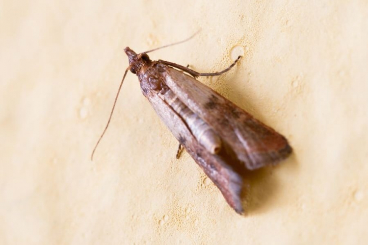The flour moth is not exactly a beautiful butterfly