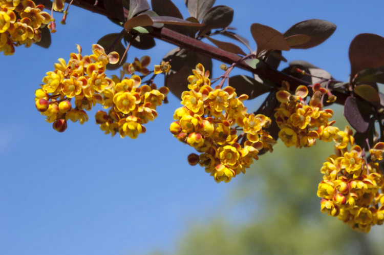 The flowers of Berberis ottawensis 'Superba' glow in a rich yellow