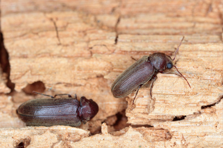 The fully grown beetles no longer cause damage to the wood