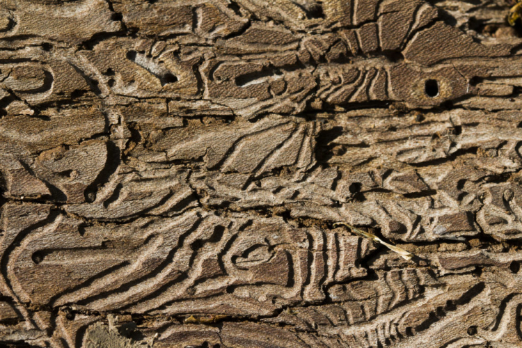 The holes that the woodworm leaves are about 1 to 2 mm in size