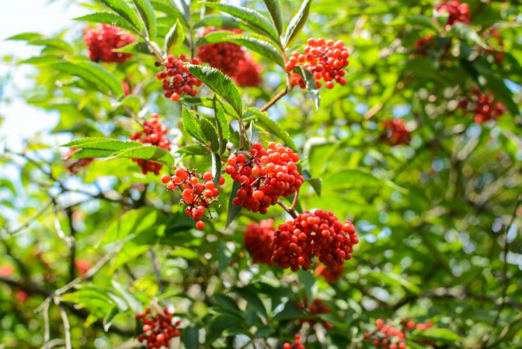 The kernels in the berries of the red elder are still poisonous even after heating