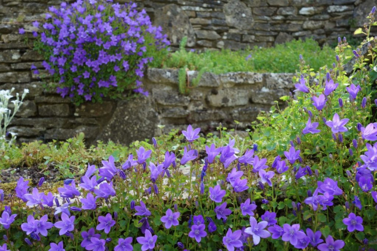 The most diverse corners of the garden can be designed with bluebells