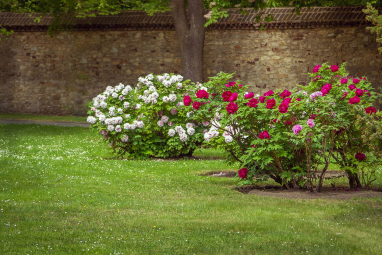 The peony needs a lot of space, otherwise it will crowd out other plants