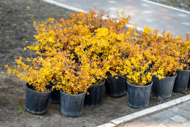 The plant is traditionally bought as a young shrub