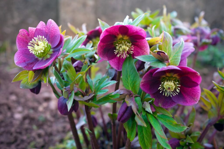 The right location is very important for the Christmas rose to thrive