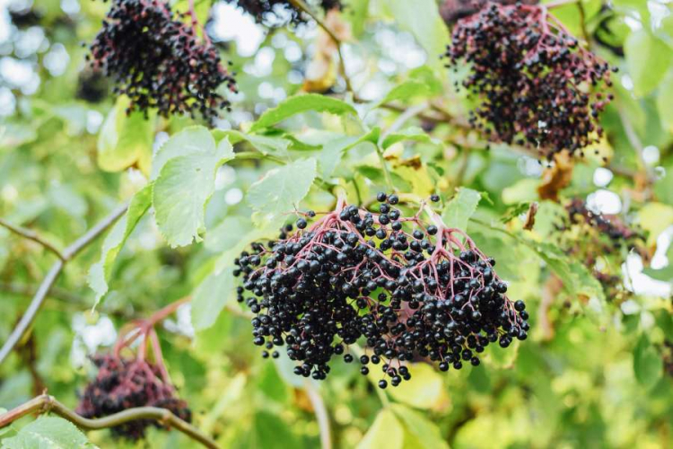 The ripe fruits of the black elder can be harvested and processed from the end of September