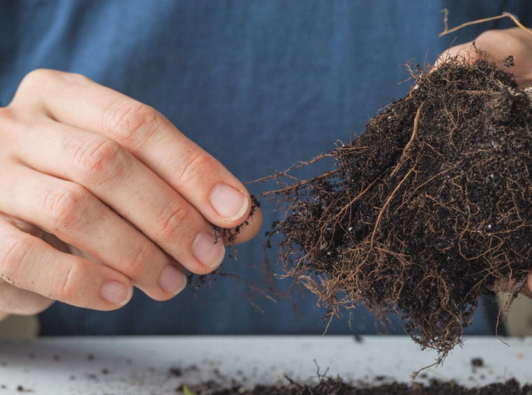The roots of the fuchsia should not be damaged if possible