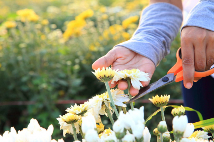 The shoots of the potted chrysanthemums are cut back about finger-length after flowering
