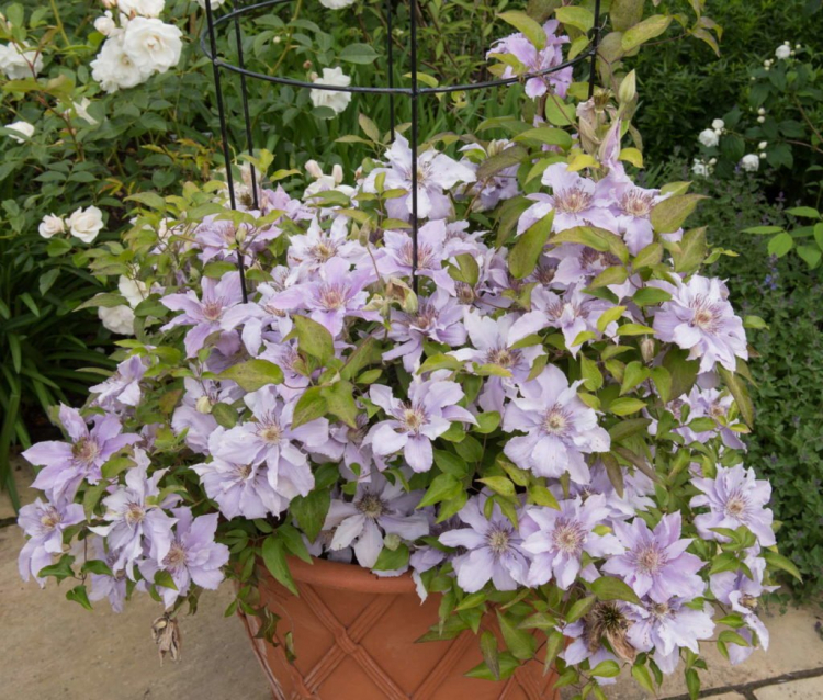 The use of long-term organic fertilizers in pot culture prevents you from oversupplying your clematis