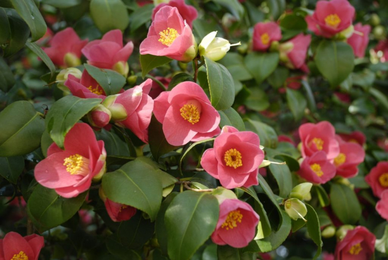 This camellia near Dresden is over two hundred years old and still has plenty of flowers-2