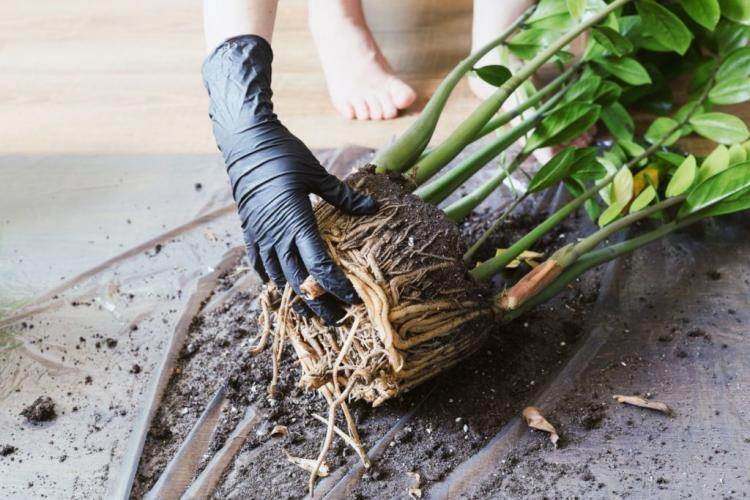 To divide, carefully pull the root ball apart to see how best to divide the plant