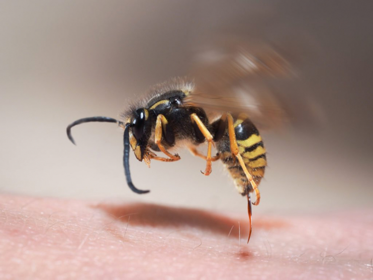 Unlike bees, wasps can sting multiple times