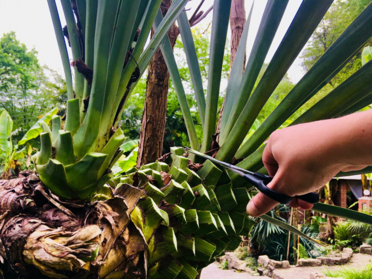 When pruning, you can win new cuttings and offshoots immediately