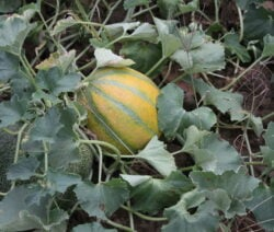With a little care, suitable varieties can also be grown in this country