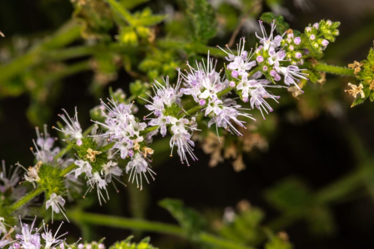 With the right pruning, mint can even bloom twice a year