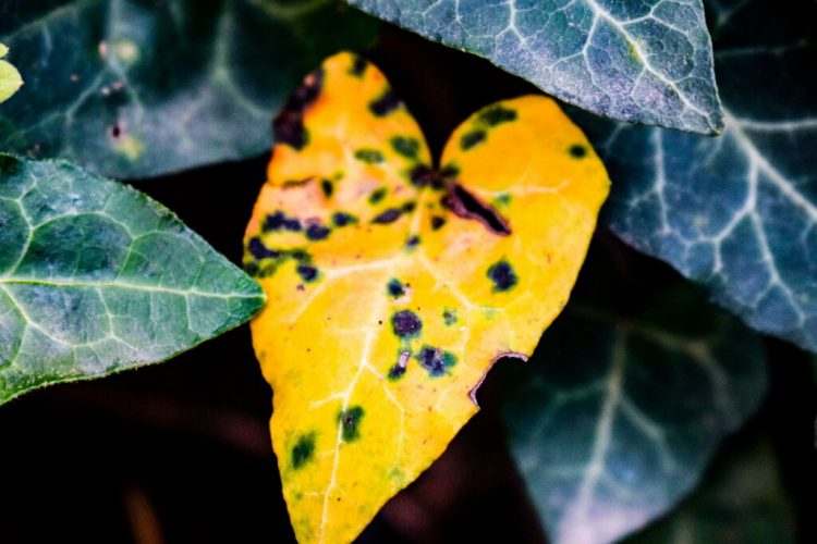 Yellow leaves on ivy can have various causes